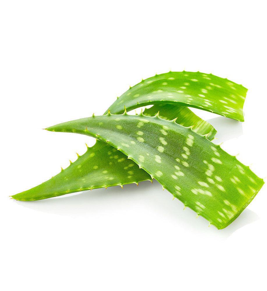Aloe Vera ( ঘৃতকুমারী )-1pcs